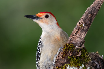 Wall Mural - Red-bellied Woodpecker Perched on a Branch of a Tree