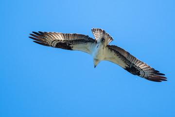 Wall Mural - Lone Osprey Flying in a Blue Sky