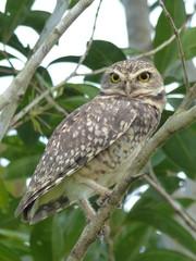 Burrowing owl (Athene cunicularia)  Strigidae family. Amazon, Brazil