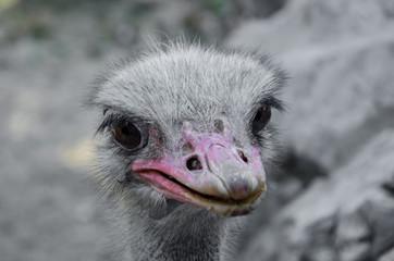 Zelfklevend Fotobehang Struisvogel Close-up Of Ostrich