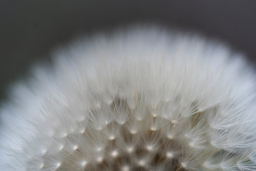Macro view of beautiful dandelion seeds on a green background.