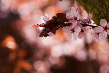 Pink tree blossoms with blue background