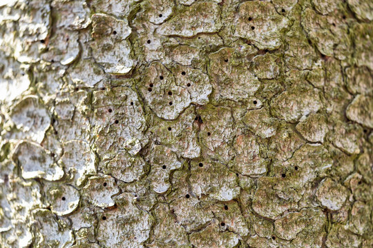 Close-up view of holes in a tree trunk made by bark beetle larvae.