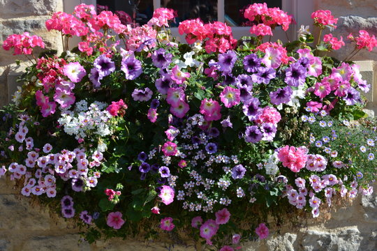 Colourful window box full of pink and purple  summer flowers including petunias and pelargoniums