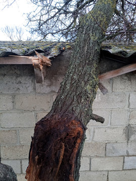 A windbroken apricot tree fell on shed and broke the roof.