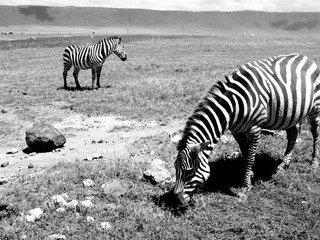 Canvas Prints Zebra Zebra Grazing On Field In Zoo