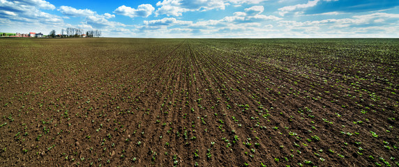 Wall Mural - Panoramic view of field with young sprouts of soybean, legumes at spring