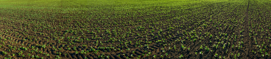 Wall Mural - Big panorama of young sprouts of soybean field, legumes at spring, month from the date of landing
