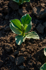 Wall Mural - selective focus on soy sprouts leaves on the soil at spring