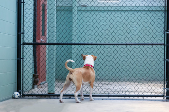 An eye level backside view of a standing white and tan mixed breed Pittie/Beagle dog looking through fenced barrier in dog shelter facility
