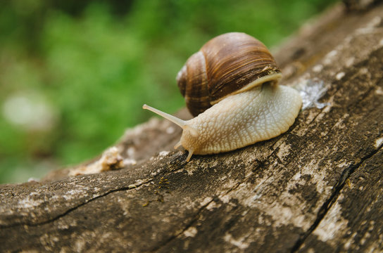 The snail crawls on a tree. Green background. Wildlife. Forest