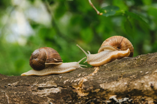 Two snails crawl towards each other on a log. Love story of snails in the forest
