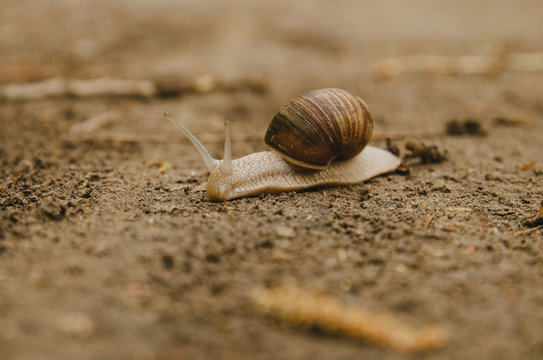 The snail crawls along the path. Brown background. Wildlife. Forest