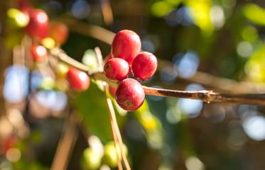 florada, fruto, grão de café