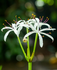 White Star Shaped Lilly Stock Photo