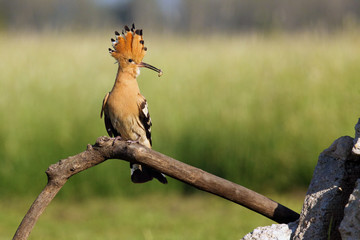 The Eurasian hoopoe (Upupa epops) sitting in front of nest on a dry branch. Hoopoe with a worm in its beak with green background. Fotomurales