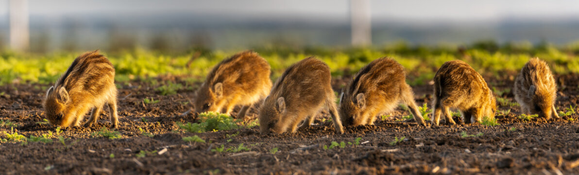 herd of small wild boars piglets feeding on the spring field - closeup panorama