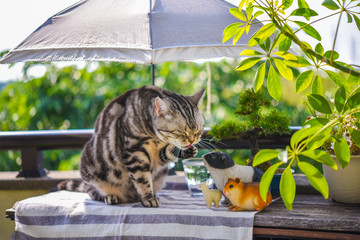 夏のベランダ 日傘の下でくつろぐ猫