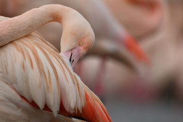 Face to face with Greater flamingo Phoenicopterus roseus  Fototapete