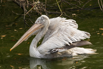 Foto auf AluDibond Straus Close-up Of Pelican Swimming In Lake