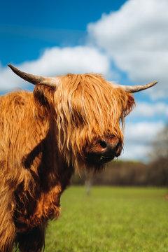 Highland Cattle outside