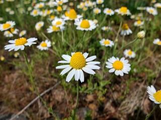 Fleurs d'anthémis  en gros plan dans un champ.