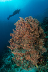 woman diver over a tropical gorgonian reef