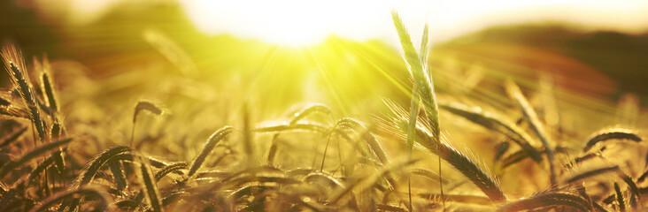 Foto auf AluDibond Honig getreide ähren sonne natur banner