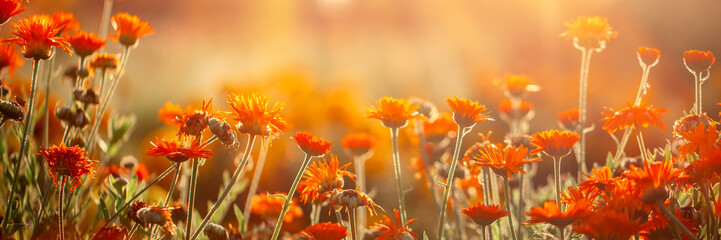 Foto auf Gartenposter Rotglühen Natural summer background orange field flowers in the morning sun rays with soft blurred focus. Banner.