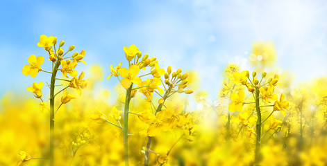 Agricultural field with rapeseed plants. Rape flowers in strong sunlight. Oilseed, canola, colza. Nature background. Spring landscape. Macro photo.