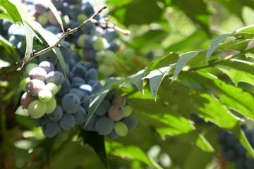 Mahonia berries in spring