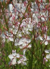 Gaura lindheimeri  blanche
