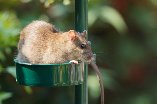 A brown rat is enjoying seeds in a bird feeder. Rats can easily climb into bird feeders when they are not placed correctly.