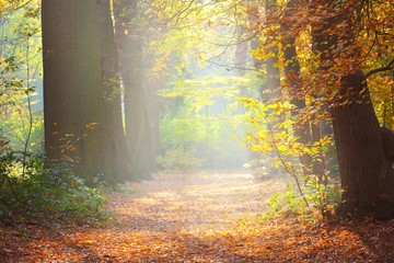 Fototapeten Straße im Wald Sun rays flowing through tall ancient golden beech trees in the Nachtegalen park. Forest floor of colorful red, orange and yellow leaves. Antwerp, Belgium