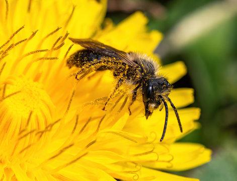 mason bee on dandelion flower