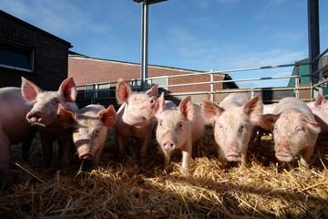 Haltung von Bioschweinen - mehrere Jungsauen liegen in einem frisch mit Stroh eingestreuten Außenstall auf einem Bauernhof. Symbolfoto.