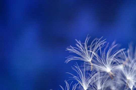 Parachutes of dandalion / dandelion seeds on a abstract blue background / Copy space for text / Macro