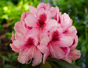 Close-up of clusters of beautiful pink rhododendron flowers blooming in the springtime.