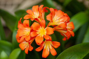 Clivia miniata flower in the garden. Fresh bunch orange Natal lily or Bush lily flowers with green leaves Stock Photo.
