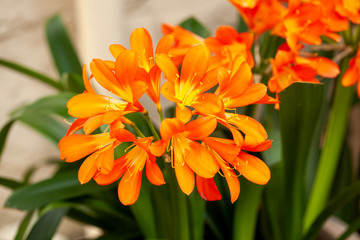 Clivia miniata flower in the garden. Fresh bunch orange Natal lily or Bush lily flowers with green leaves.