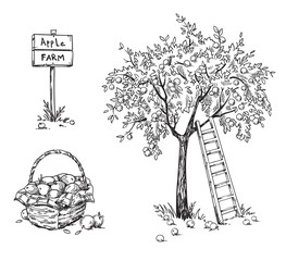 Apple tree with a ladder and a basket of ripe appples, apple farm vector illustration