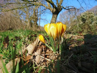 Close-up Of Yellow Crocus Growing In Field