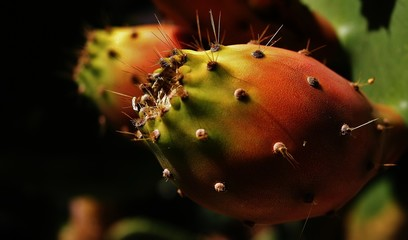 Close-up Of Tuna Fruit Growing On Prickly Pear Cactus