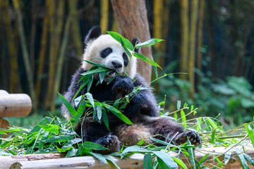 Cute panda sitting and eating bamboo