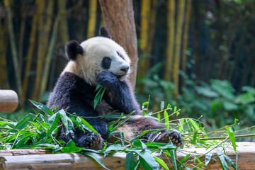 Autocollant pour porte Panda Cute panda sitting and eating bamboo