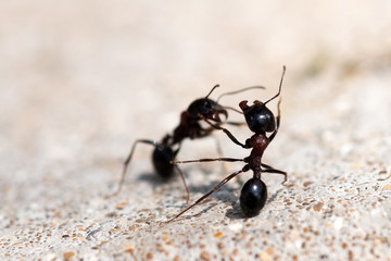 Black ants fight. Warriors for survival