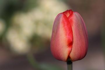 Obraz Czerwony tulipan. - fototapety do salonu