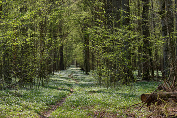 Wall Mural - Narrow path through early spring forest