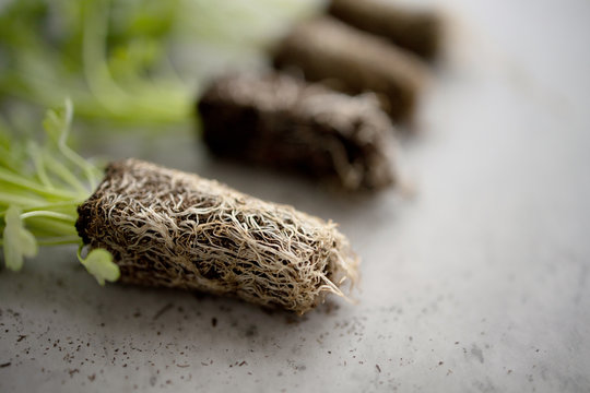 Roots system, organic parsley seedling