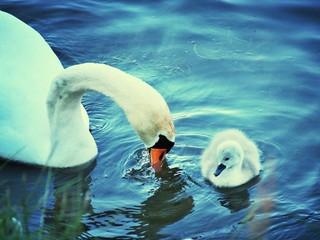 Poster Cygne High Angle View Of Swan With Cygnet Swimming On Lake